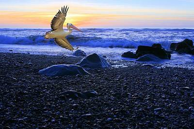 Photograph - Dusk Flight Of The Pelican by David Rich