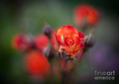 Roses Royalty-Free and Rights-Managed Images - Dusk Romantic Rose by Mike Reid