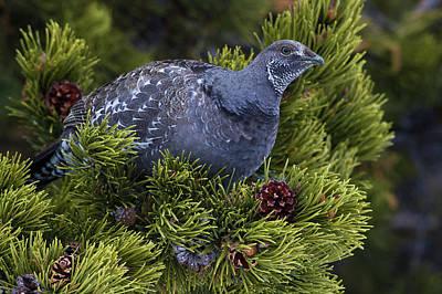 Dusky (blue) Grouse Art Print