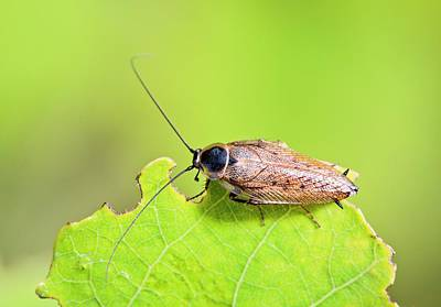 Cockroach Photograph - Dusky Cockroach by Bob Gibbons