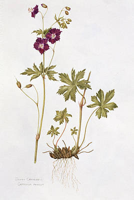 Negative Space Painting - Dusky Cranesbill by Diana Everett