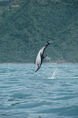 Photograph - Dusky Dolphin Jumping Kaikoura New by Flip Nicklin