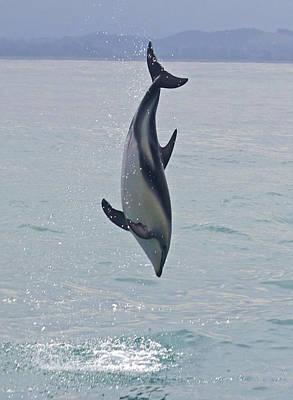 Dusky Dolphin, Kaikoura, New Zealand Art Print by Venetia Featherstone-Witty