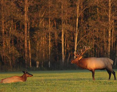 Elk Hide Photograph - Sundown Elk by Brent Easley
