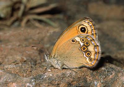 Pattern Photograph - Dusky Heath Butterfly by Nigel Downer