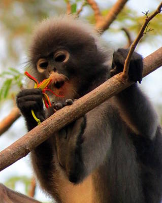 Photograph - Dusky Langur by Ramona Johnston
