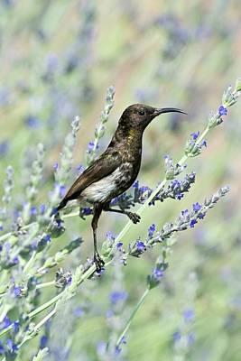 Sunbird Photograph - Dusky Sunbird by Tony Camacho
