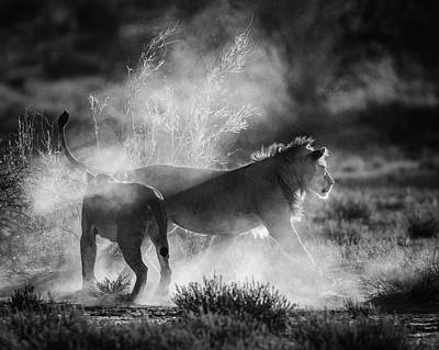 Lioness Wall Art - Photograph - Dust Cats by Jaco Marx