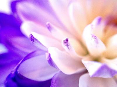 Photograph - Dusted With Violet - Triptych 1 Of 3 by Susan Maxwell Schmidt