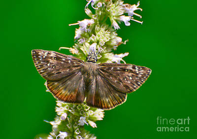 Photograph - Dustwing Skipper by Kathy Baccari