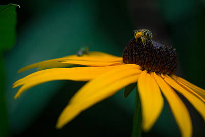 Photograph - Dusty Bee by Shane Holsclaw