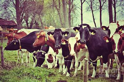 Photograph - Dutch Cows by Nick  Biemans