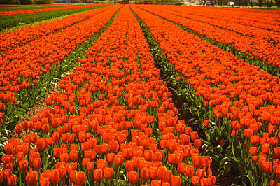 Photograph - Dutch Tulips by Yvon van der Wijk