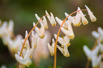 Photograph - Dutchman's Breeches by Bill Pevlor