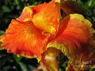 Yellow Canna Lily Photograph - Dwarf Canna Lily Named Cleopatra by J McCombie