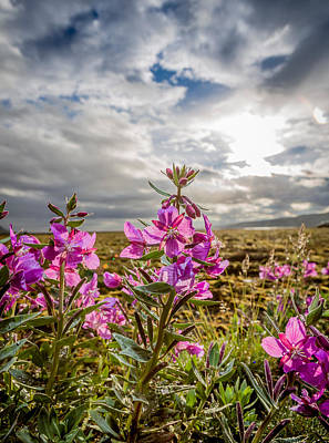 Fireweed Photograph - Dwarf Fireweed, Chamerion Latifolium by Panoramic Images
