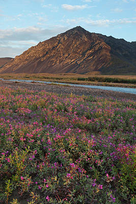 Marshes. Brooks Photograph - Dwarf Fireweed Is Lit By Sunset Light by Hugh Rose