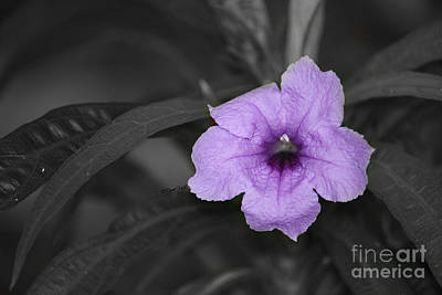 Photograph - Dwarf Mexican Petunia by Terri Mills