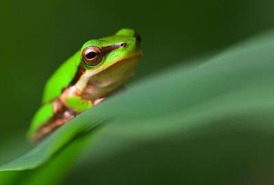 Photograph - Dwarf Tree Frog by David Clode
