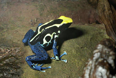 Frog Photograph - Dyeing Poison Frog by Nigel Downer