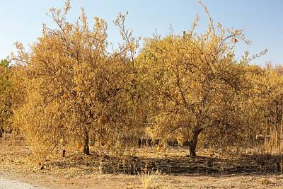 Orange Photograph - Dying Orange Trees by Ashley Cooper