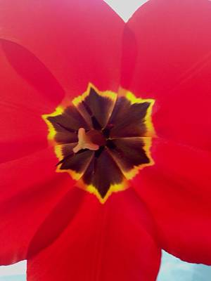 Photograph - Dying Tulip by Dayna Winters
