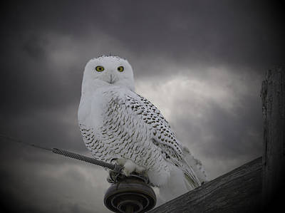 Telephone Poles Photograph - Dynamic Portrait Of A Snowy Owl by Thomas Young