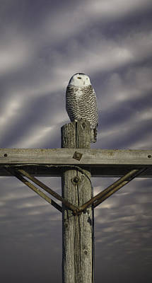 Telephone Poles Photograph - Dynamic Snowy Owl by Thomas Young