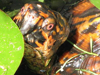 Photograph - E T Box Turtle by Cleaster Cotton