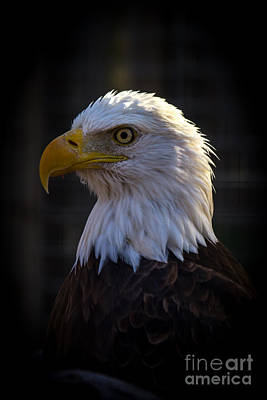 Eagle 1 Art Print by Jim McCain
