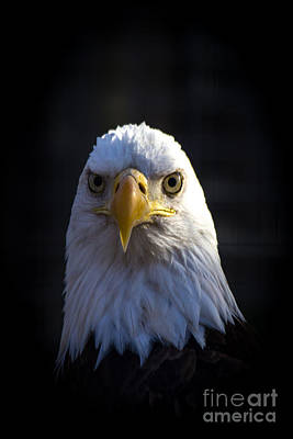 Eagle 2 Art Print by Jim McCain