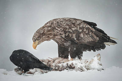 Eagle And Raven Print by Andy Astbury