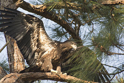 Photograph - Eagle Baby Ready For Takeoff by Michael Gooch