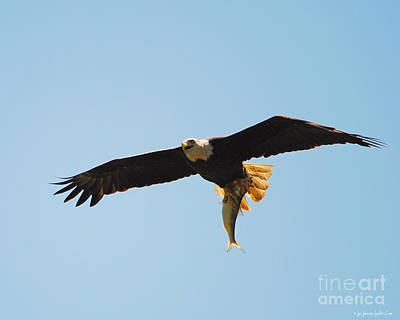 Photograph - Eagle Bringing In Fish 2 by Jai Johnson
