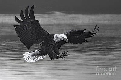 Photograph - Eagle Coming In For Fish by Dan Friend