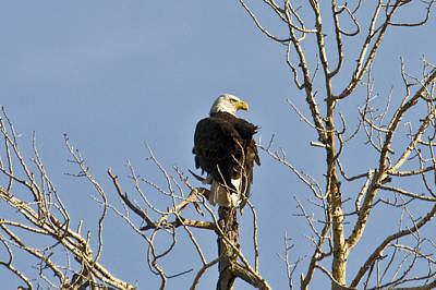 Photograph - Eagle by David Armstrong