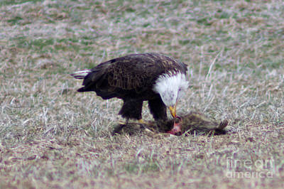 Photograph - Eagle Feasting by Deb Kline