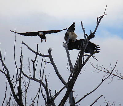 Photograph - Eagle Fight 5 by Trent Mallett