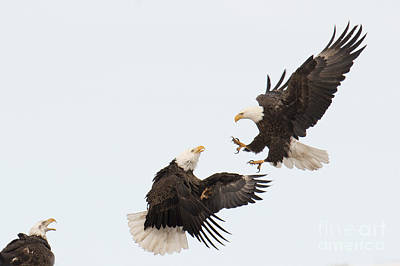 Photograph - Eagle Fight by Deby Dixon