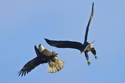 Photograph - Eagle Fight by Jack R Perry