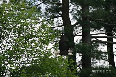 Decor Photograph - American Bald Eagle Flight On Roseland Lake  by Neal Eslinger