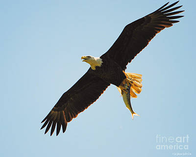 Photograph - Eagle Flying With Fish IIi by Jai Johnson