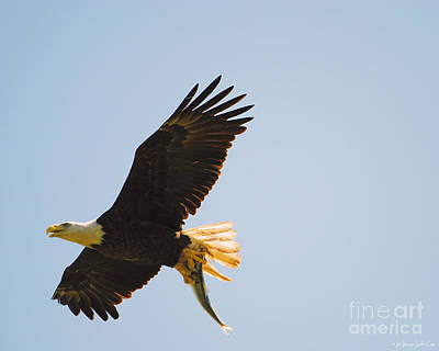 Photograph - Eagle Flying With Fish Iv by Jai Johnson