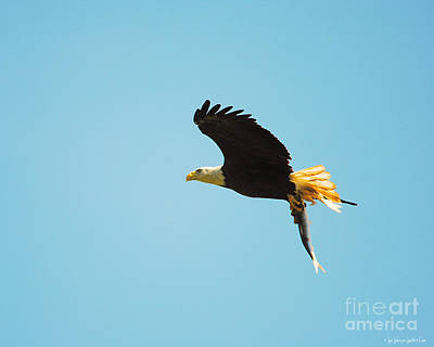 Photograph - Eagle Flying With Fish V by Jai Johnson