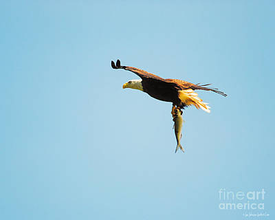 Photograph - Eagle Flying With Fish Vi by Jai Johnson