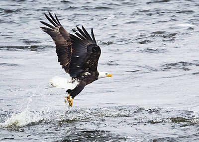Eagle Hunting On The Wisconsin River Art Print by Ricky L Jones