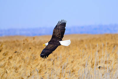 Photograph - Eagle In Flight by Greg Norrell