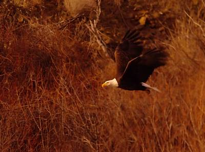 Birds Living In Nature Photograph - Eagle In Flight by Jeff Swan