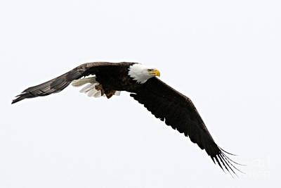 Photograph - Eagle In Flight by Larry Ricker