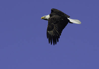 Photograph - Eagle In Flight by Michael Gooch